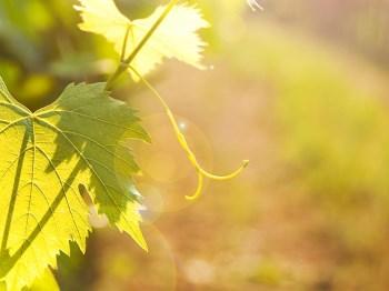 Vad är skillnaden mellan ekologiskt och biodynamiskt vin?