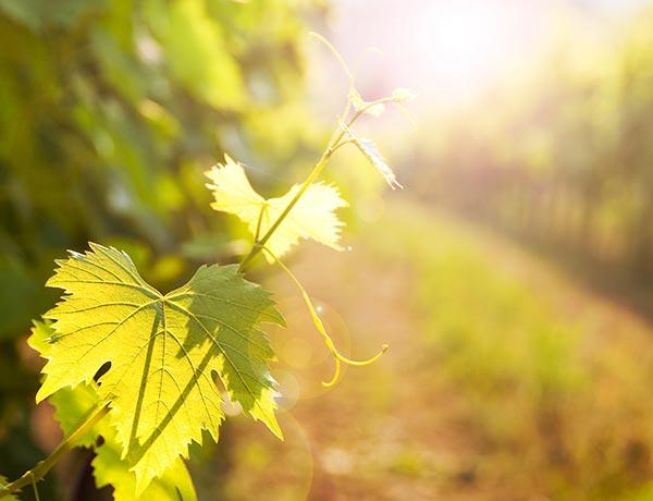 Vad är Ekologiskt och Biodynamiskt vin